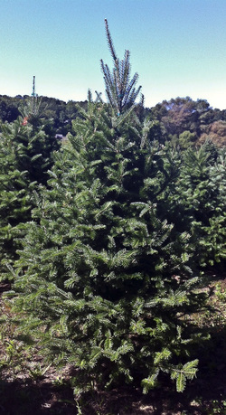 Canaanfir Hillside Christmas Tree Farm